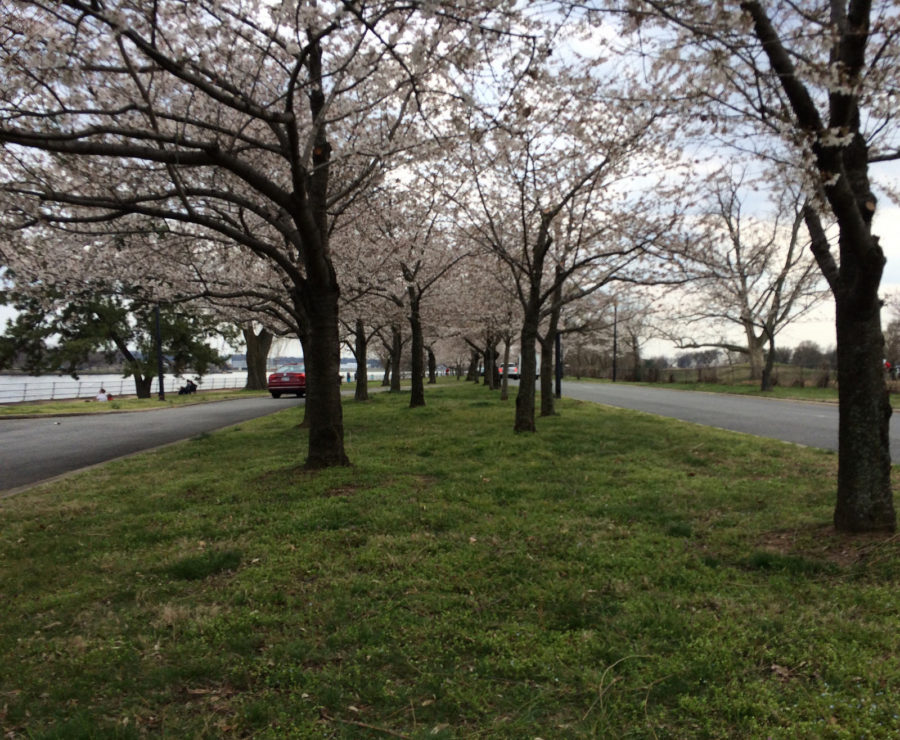 Hains Point blossoms